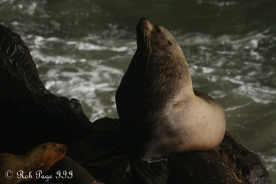 Sea Lions at the Sea Lion Caves - Florence, OR ... June 18, 2012 ... Photo by Rob Page III