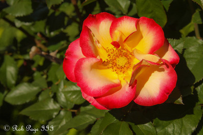 At the International Rose Test Garden - Portland, OR ... June 15, 2012 ... Photo by Rob Page III