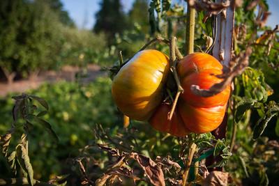 Tomato -- McMenamins Edgefield