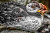 Horned Puffin_1158