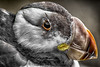 Horned Puffin_1148