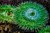 Giant Green Anemone 0972