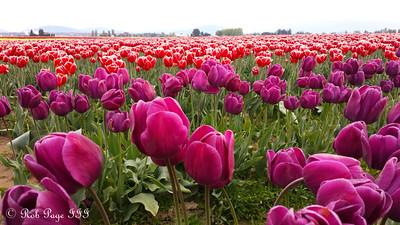 Skagit Tulip Festival - La Conner, WA ... April 10, 2015 ... Photo by Rob Page III