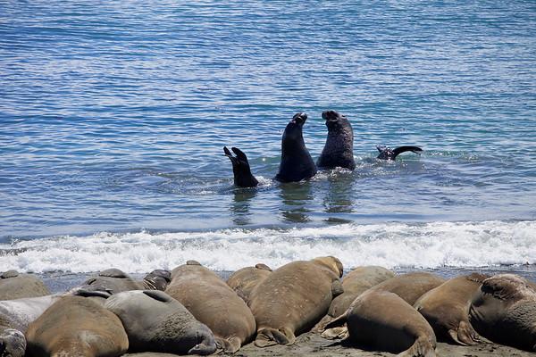 Sea Lions at San Simeon