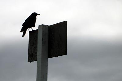 The Raven - Oregon ... July 2, 2007 ... Photo by Rob Page Jr.