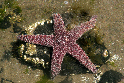 Starfish - Oregon ... July 3, 2007 ... Photo by Rob Page Jr.