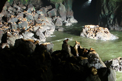 The sealions - Oregon ... July 2, 2007 ... Photo by Rob Page Jr.