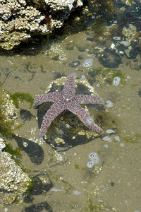 A starfish - Oregon ... July 3, 2007 ... Photo by Heather Page