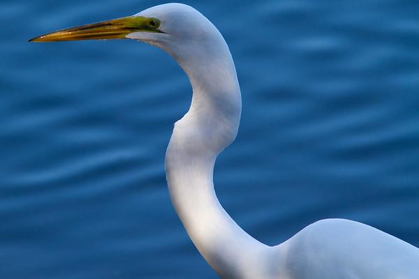 Snowy Egret in DDNWR