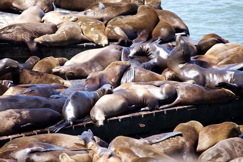 Sealions in San Francisco