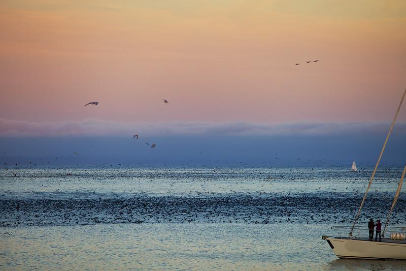 Seabird feeding Frenzy, Santa Cruz