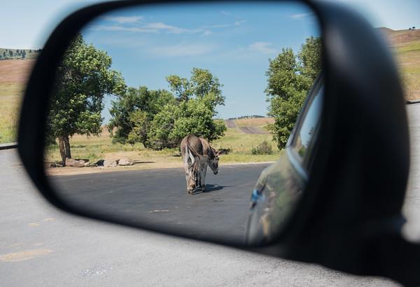 South Dakota Rear View, Wild Mule - Custer State Park