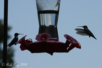 Hummingbirds - Asheville, NC ... August 7, 2011 ... Photo by Rob Page III