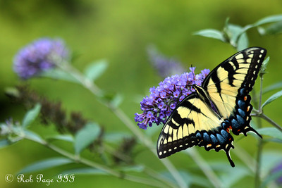 A butterfly - Asheville, NC ... August 7, 2011 ... Photo by Rob Page III