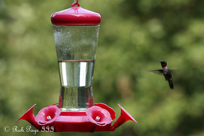 A hummingbird - Asheville, NC ... August 7, 2011 ... Photo by Rob Page III