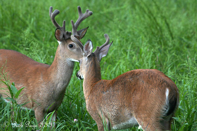 Deer at Cades Cove - Great Smoky Mountain NP, TN ... August 2, 2011 ... Photo by Rob Page III