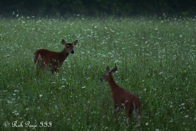 Deer in Cades Cove - Great Smoky Mountain NP, TN ... August 2, 2011 ... Photo by Rob Page III