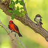 Vermilion Flycatchers