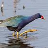 Purple Gallinule - Anahuac NWR - Texas