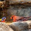 Painted Bunting - Northern Cardinal