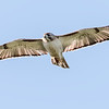Red-tailed Hawk - Benbrook Lake - Fort Worth, TX