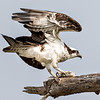 Osprey - Benbrook Lake - Fort Worth, TX