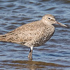 Willet - Benbrook Lake - Fort Worth, TX
