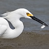 Snowy Egret - Benbrook Lake - Fort Worth, TX