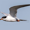 Forster's Tern - Benbrook Lake - Fort Worth, TX