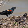 Red-winged Blackbirds - Benbrook Lake - Fort Worth, TX