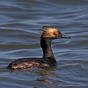 Eared Grebe - Benbrook Lake - Fort Worth, TX