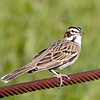 Lark Sparrow - Benbrook Lake - Fort Worth, TX