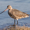 Marbled Godwit - Benbrook Lake - Fort Worth, TX