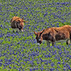Bluebonnets and Burros - Ennis, Texas