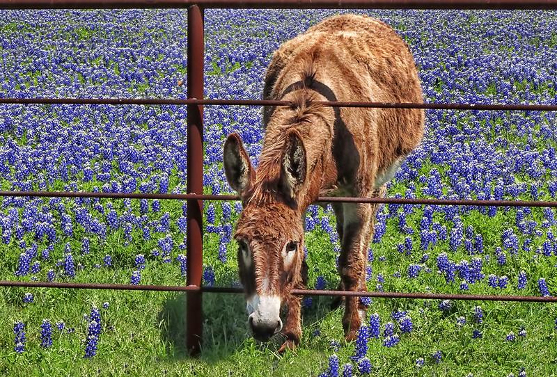 Bluebonnets and Burro - Ennis, Texas
