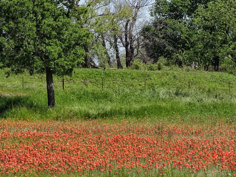 Indian Paintbrush - Ennis, Texas
