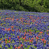 Bluebonnets, Indian Paintbrush - Ennis, Texas