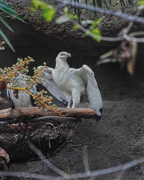 Palmnut Vulture
