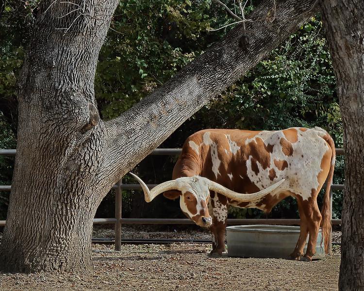 Longhorn Steer