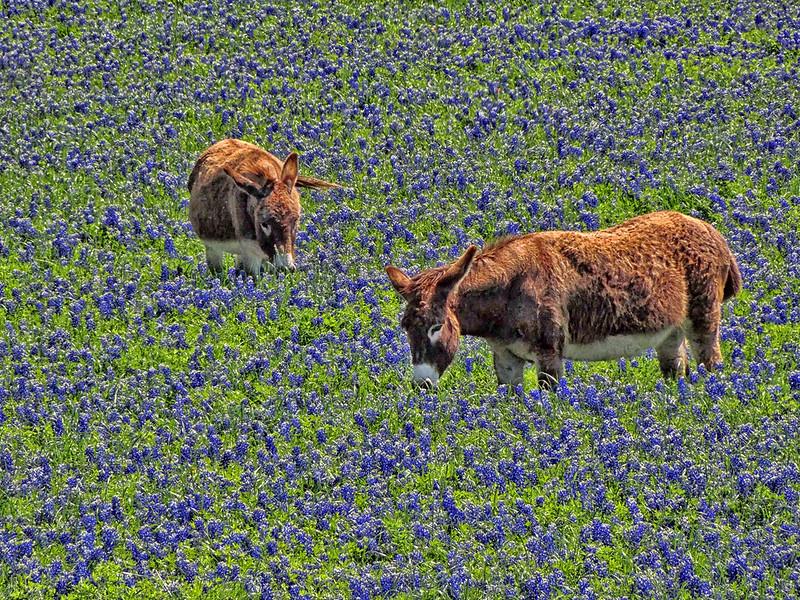 Bluebonnets and Burros - Ennis, Texas