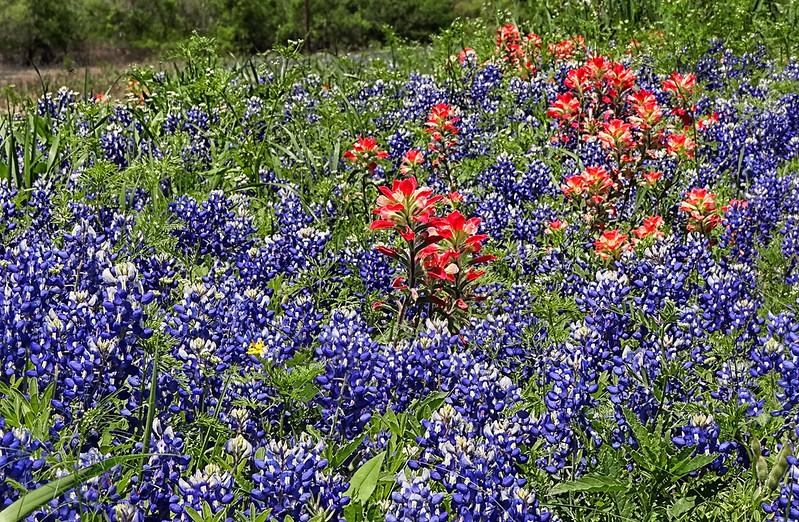 Bluebonnets, Indian Paintbrush - Ennis, Texas