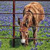 Bluebonnets and Burro - Ennis, Texas