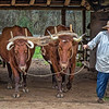 Washington on the Brazos Farmer and Oxen - Texas