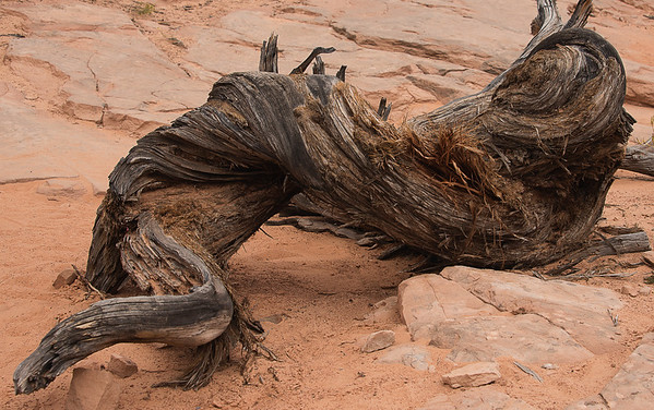 Twisted Pine, Near Mesa Arch, Canyonlands National Park, Utah