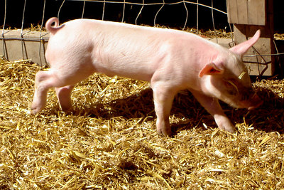 One of the new piglets - Centreville, VA ... October 15, 2006 ... Photo by Rob Page III