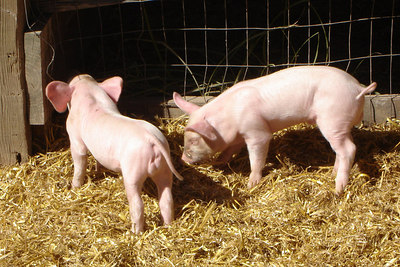The recently born piglets at Cox Farms - Centreville, VA ... October 15, 2006 ... Photo by Rob Page III