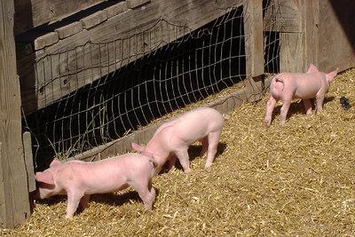 Newborn piglets - Centreville, VA ... October 15, 2006 ... Photo by Emily Conger