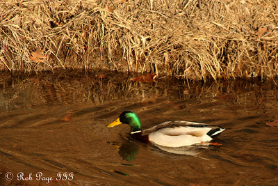 A mallard duck - Great Falls, MD ... January 8, 2012 ... Photo by Rob Page III