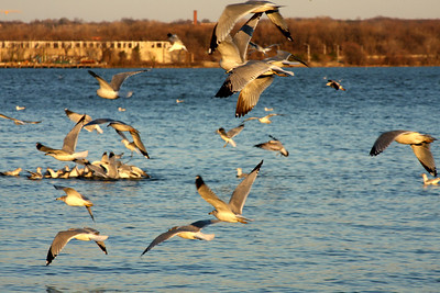 The gulls enjoy the beautiful weather - Alexandria, VA ... February 9, 2009 ... Photo by Rob Page III