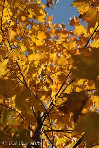 Fall leaves -  Shenandoah NP, VA ... September 24, 2010 ... Photo by Rob Page III